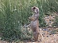 White-tailed prairie dog (5673476643).jpg