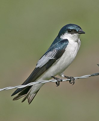 White-winged swallow - at rest in Los Llanos, Venezuela