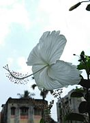 White Hibiscus at Kolkata.jpg