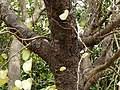 White Variegated Orchid tree (3128906766).jpg
