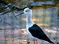 White headed bird in zoo heidelberg.jpg