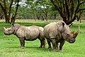 White rhinos (6880953627).jpg