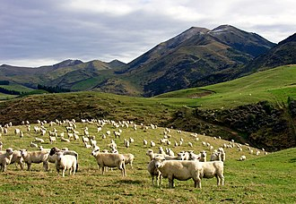 New Zealand cuisine - Sheep grazing in Canterbury. Early British settlers introduced Western stock and crops, New Zealand agriculture now produces an abundance of fresh produce.