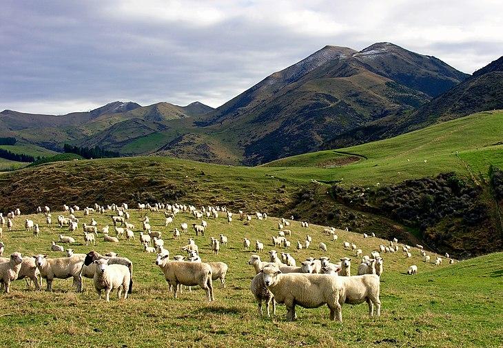 Kết quả hình ảnh cho cừu ở úc