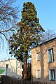 Wien-Hernals - Naturdenkmal 443 - Mammutbaum (Sequoiadendron giganteum).jpg