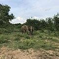 Wild Elephants at Udawalawe national park.jpg