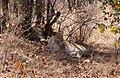Wild Lions, Krüger Park.jpg