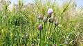 Wild flowers - panoramio (2).jpg