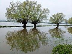 Willows in the Severn floodplain 1 (geograph 2935144).jpg