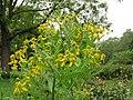 Wingstem flower cluster Verbesina alternifolia.jpg