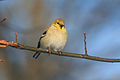 Winter Goldfinch.jpg