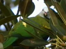 File:Wompoo Fruit-dove rushck.ogv