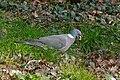 Wood Pigeon (Columba palumbus) eating acorn (25863638651).jpg