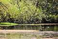 Wood duck (26364542061).jpg