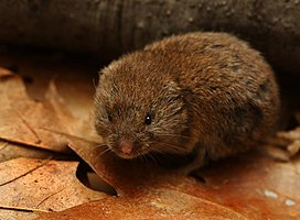 Woodland Vole Microtus Pinetorum.jpg