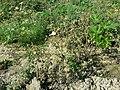 Xanthium strumarium s. str. sl55.jpg