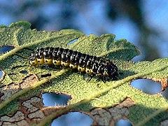 Xanthogaleruca luteola 20060905 525 part.jpg