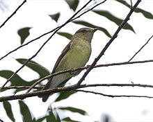 Yellow-rumped Flycatcher (Ficedula zanthopygia).jpg