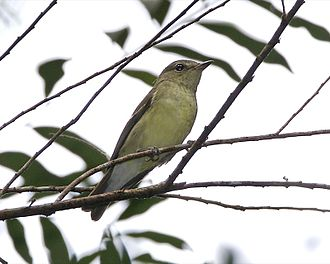 1845 in birding and ornithology - Image: Yellow rumped Flycatcher (Ficedula zanthopygia)