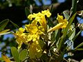 Yellow Tabebuia (2095796202).jpg