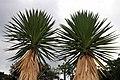 Yucca aloifolia 1zz.jpg