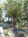 Yucca carnerosana.jpg