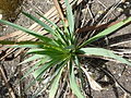 Yucca filamentosa 'Adam's Needle' (Agavaceae) leaves.JPG