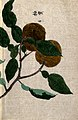 Yuzu orange plant (Citrus species); branch with two fruit. Wellcome V0043738.jpg