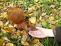 Zahmes Eichhörnchen.JPG