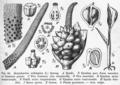 Zantedeschia aethiopica DPR.png