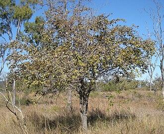 Ziziphus mauritiana - Z. mauritiana tree