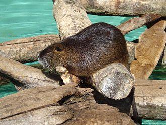 Coypu - Zoo animal on logs