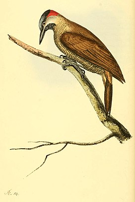 Zoological Illustrations Volume I Plate 14.jpg