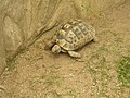 Zoopark Zajezd CZ Testudo graeca terrestris 093.jpg
