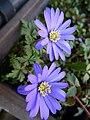 Zwei blaue Blüten Balkonkasten.JPG