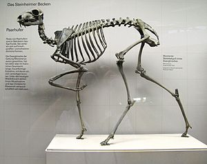 Musk deer - Skeleton of Micromeryx showing the general skeletal features