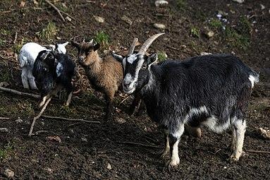 Zwergziegen Zoo Salzburg 2014 i.jpg