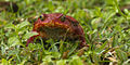 """""""Tomato Frog"""" - Masoala - Madagascar MG 0661 (15111422549).jpg"""