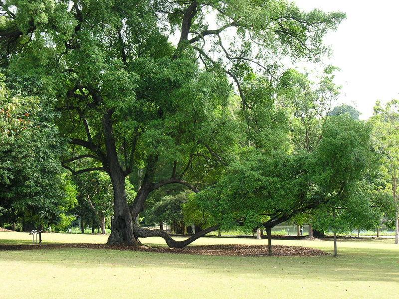 800px-245_tree