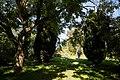 'Sophora japonica' Feeringbury Manor garden, Feering Essex England 2.jpg
