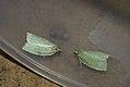 (1033) Green Oak Tortrix (Tortrix viridana) (3626227672).jpg