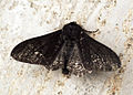 (1931) Peppered Moth (Biston betularia) (14308485779).jpg