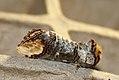 (1994) Buff-tip (Phalera bucephala) (3597395101).jpg
