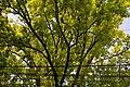 (4) Віття дуба крупноплідного на вул. 28 Червня, 71, м. Чернівці. Знято на світанку.jpg