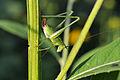 (Female) Bush Katydid Nymph (Scudderia sp.) (14877035805).jpg