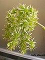 (Sedum stonecrops) أزهار السيديوم الأزرق.jpg