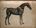 Écorché horse, side view. Engraving by T. Milton, 1802. Wellcome V0008071.jpg