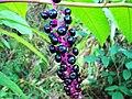 Şekerciboyası (Phytolacca americana).jpg