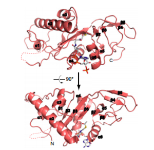 Alpha-tubulin N-acetyltransferase - Representation of the crystal structure of human αTAT1-acetyl-CoA complex