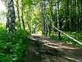 Березовая аллея в Петропавловском парке в Ярославле - panoramio.jpg